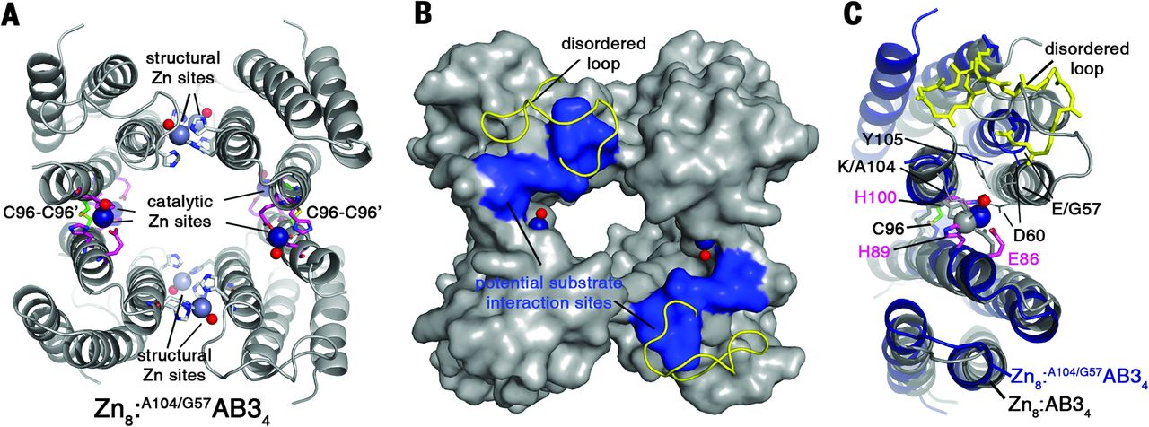 A supramolecular protein assembly with in vivo enzymatic activity